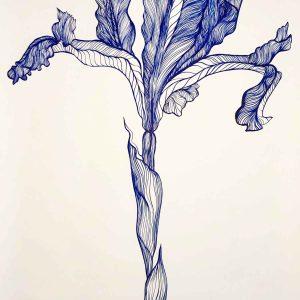 Iris Bulbosa Tricolor