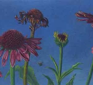 Echinacea Life